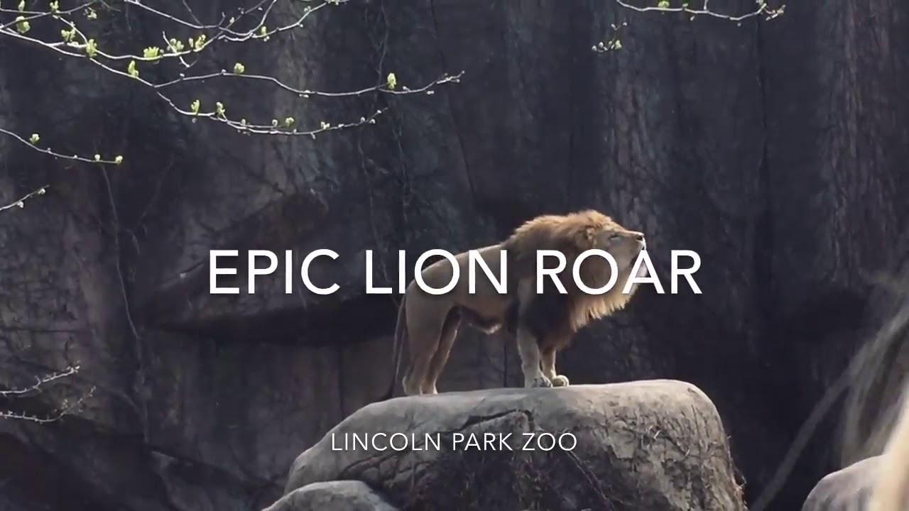 Epic lion roar