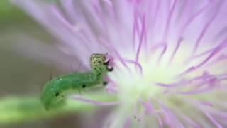 Caterpillar Eating a Snack
