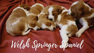 Welsh Springer Spaniel  3 Weeks Old, Eyes opening!