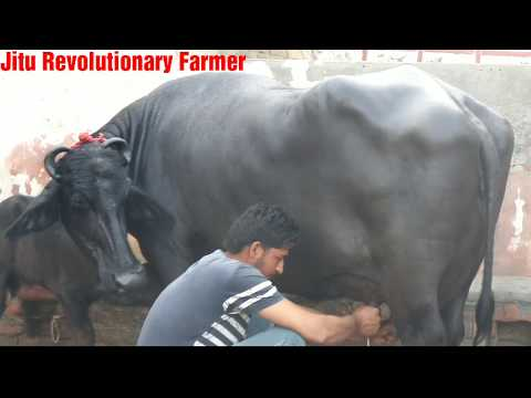 FOR SALE - PRICE 3.5 Lakh. Murrah Buffalo @ Avtar Singh Dairy, Addu Majra, Ambala.-(MILKING VIDEO)