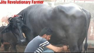 FOR SALE - PRICE 3.5 Lakh. Murrah Buffalo @ Avtar Singh Dairy, Addu Majra, Ambala.-(MILKING VIDEO)