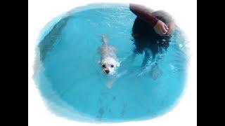 透明プールで一生懸命泳ぐマルチーズたち 犬 マルチーズ かわいい 必死 ...
