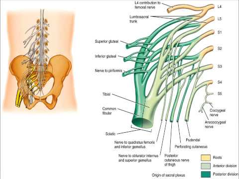 LOWER EXTREMITY IMPAIRMENTS LUMBOSACRAL PLEXUS www.ezqmeceu.com QME Continuing Education