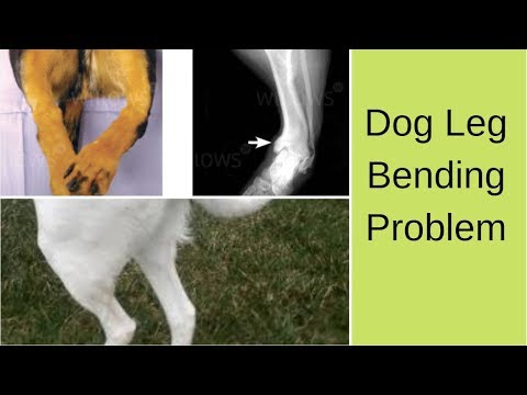 Pet Care - Dog Leg Bending Problem - Bhola Shola