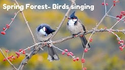 Spring Forest - Blackbird Song - Bird singing Chirping || Relaxing Nature Sound