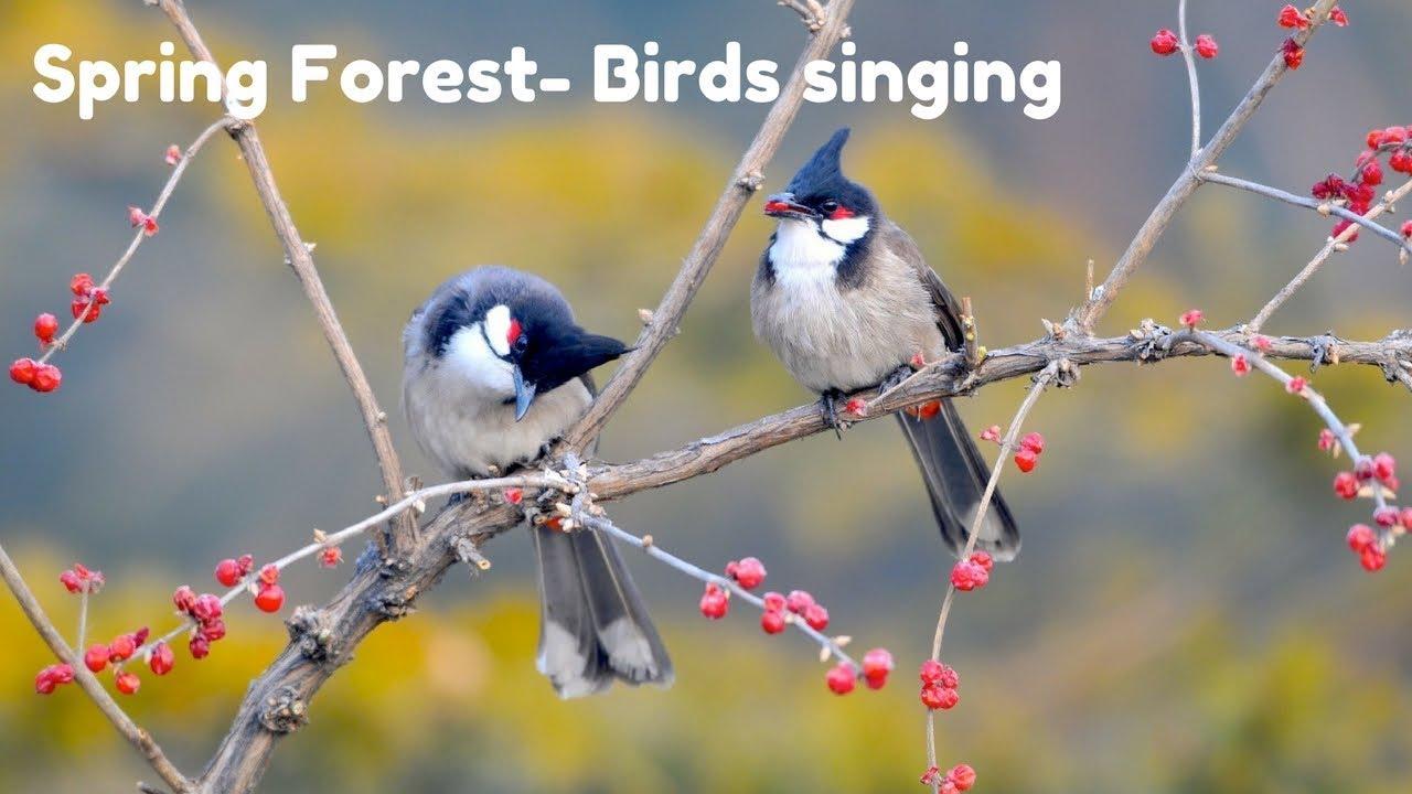 Spring Forest   Blackbird Song   Bird Singing Chirping || Relaxing Nature  Sound