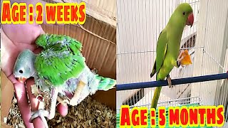 Ringneck Chick From 2 Weeks To 5 Months Growth