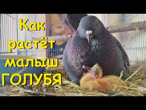 Как растёт малыш голубя. How A Pigeon Is Growing Up
