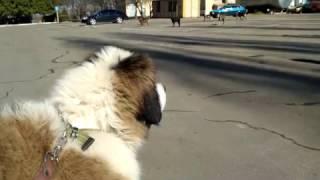 Щенок и бродячие собаки. Московская сторожевая против стаи бездомных собак.