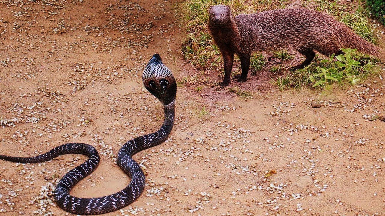 New King Cobra Vs Mongoose Big Battle In The Desert 2018
