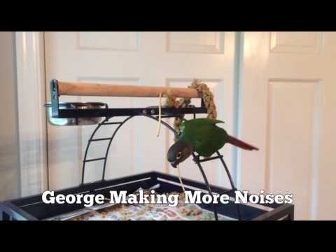 Green Cheek Conure Making Noises (2)