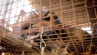 Investigation into raccoon dog fur in China