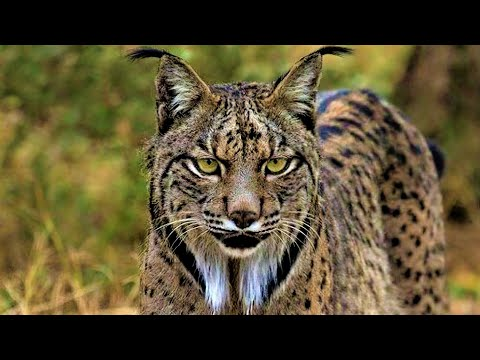 10 Rare Wild Cats You Probably Didn't Know Exist #2