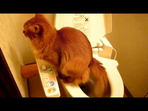 人間用のトイレでウンチする猫