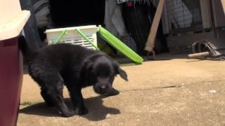 フラットコーテッドレトリバーの子犬です。 子犬の詳細は → http://www....