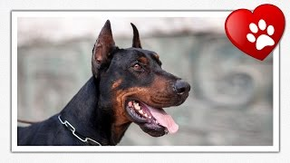 Doberman(n) Pinscher (dog Breed Information + Slideshow)