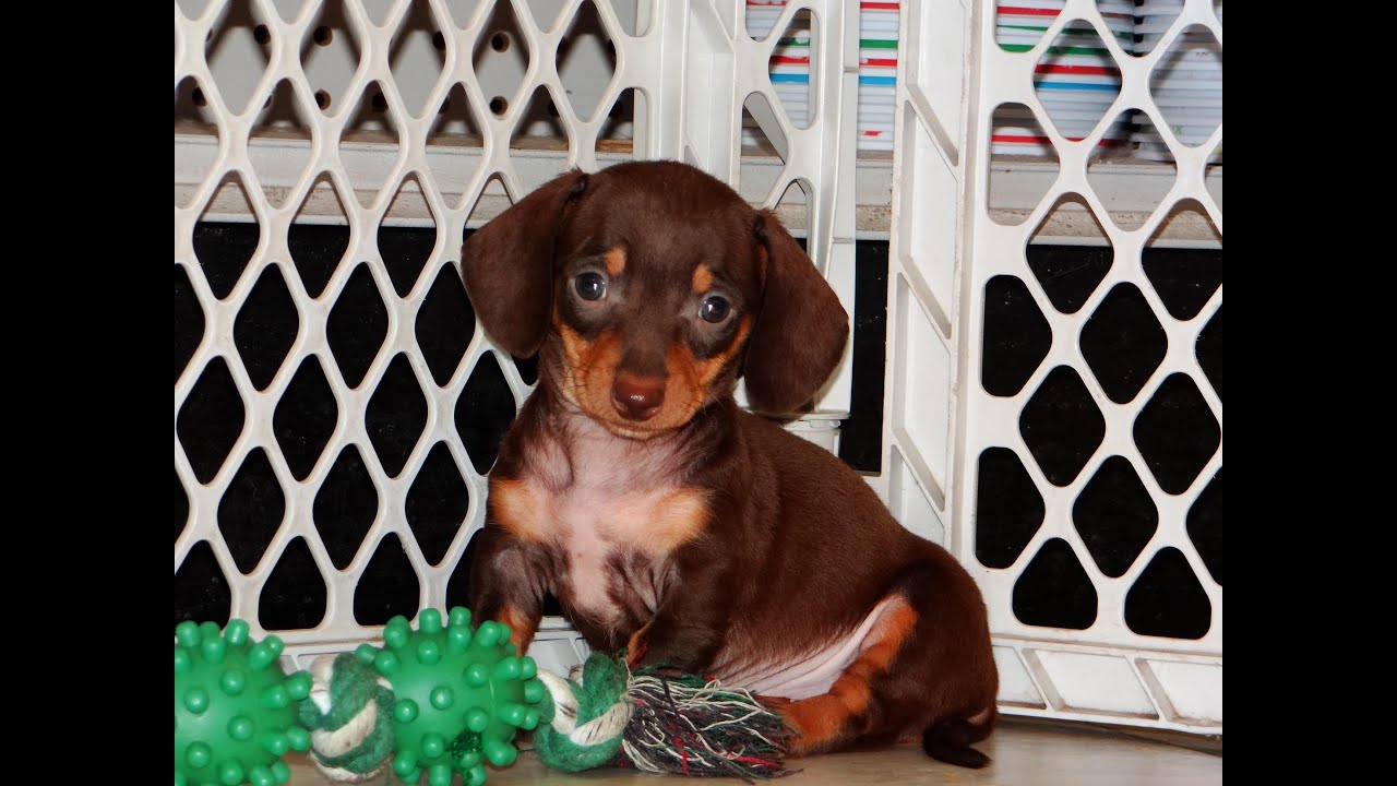 Miniature Dachshund Puppies For Sale In Fresno California Ca