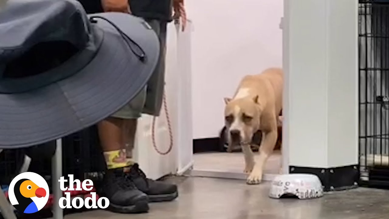 Pittie Scared Of A Cardboard Box Is The Happiest Family Dog Now | The Dodo Pittie Nation