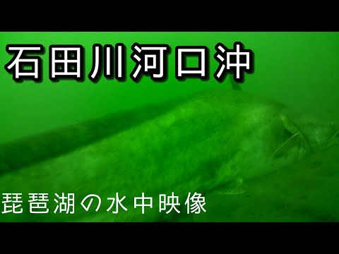 #琵琶湖 #水中映像 #ビワコオオナマズ 今井川沖 水中映像