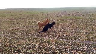 Лайка против Овчарки