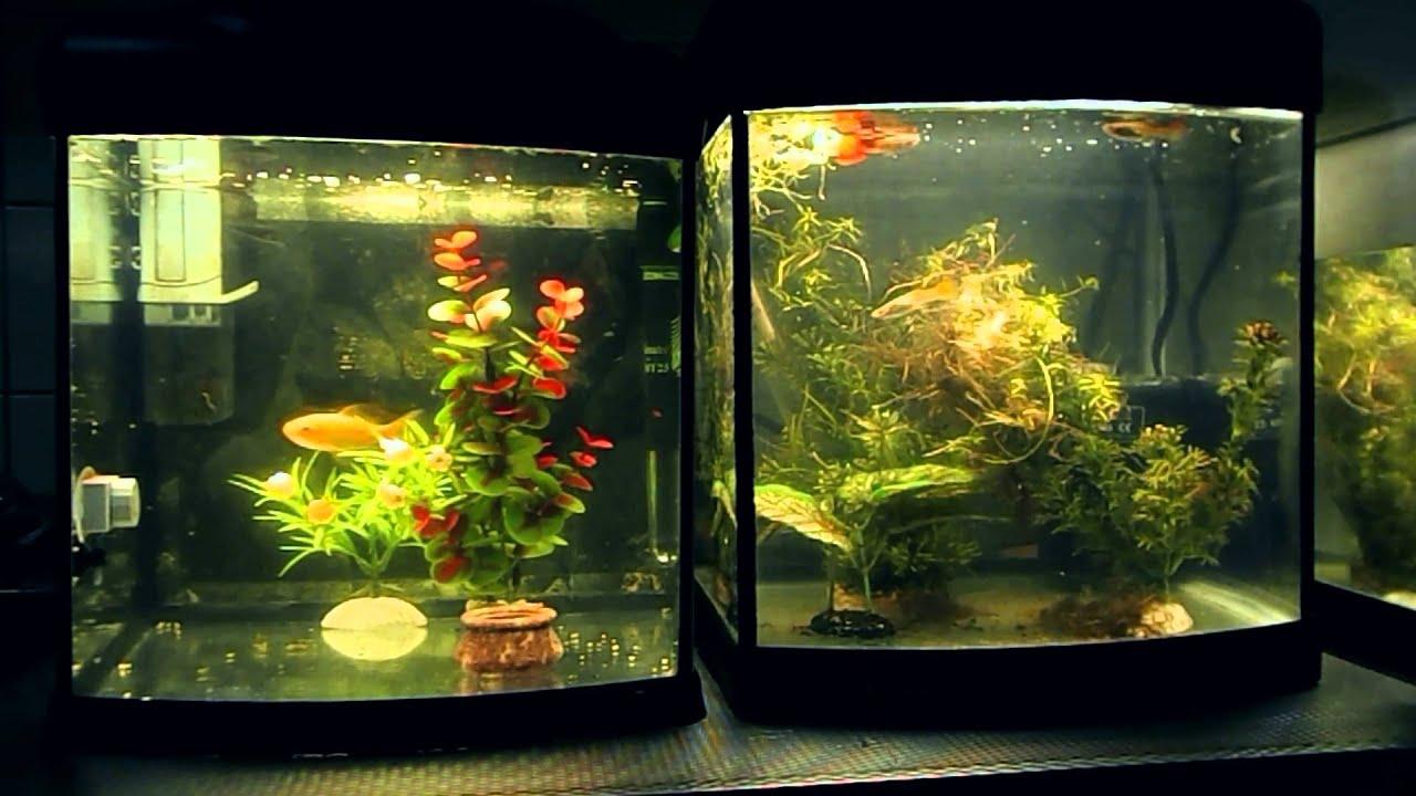 Aquarium Goudvis Guppen   YouTube