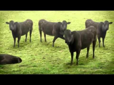 Những chú bò vui nhộn - Funny cow