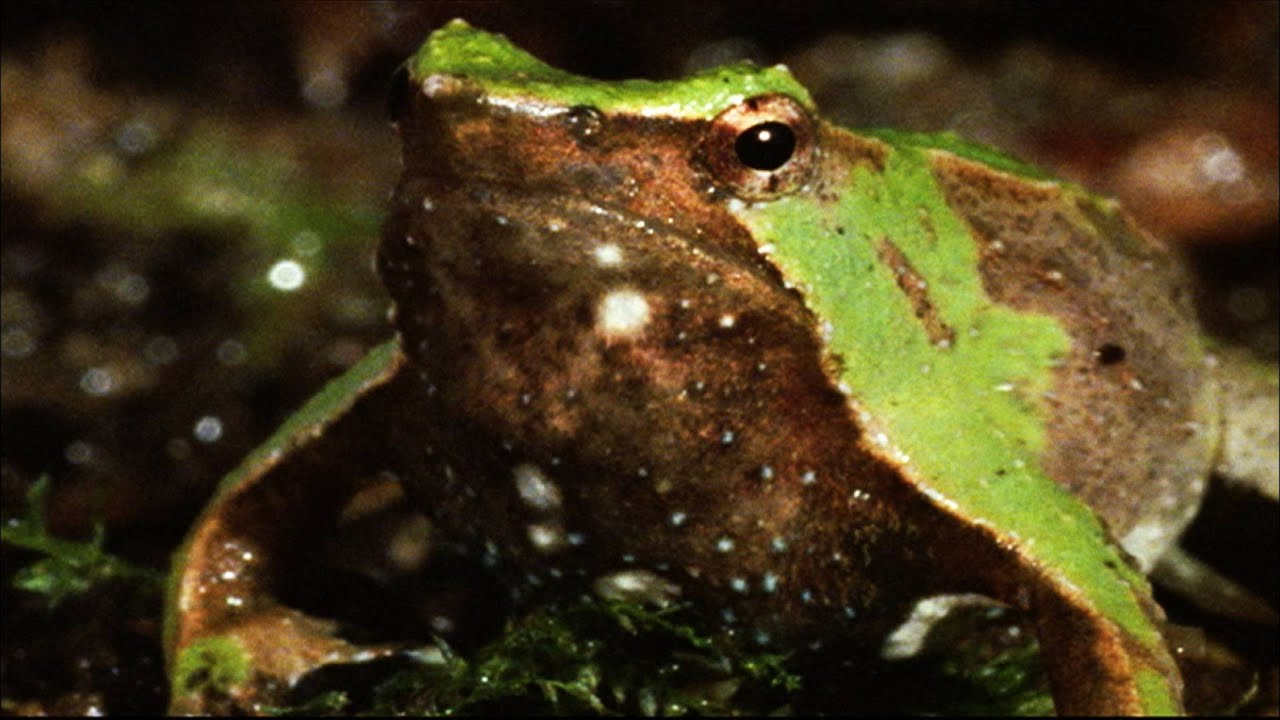 why is this amphibian called vomit frog youtube
