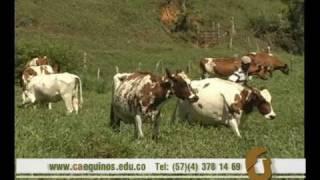 CAEQUINOS investiga sobre el ganado Ayrshire