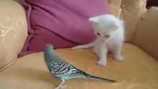 muhabbet kuşu ile kavga eden şirin kedi