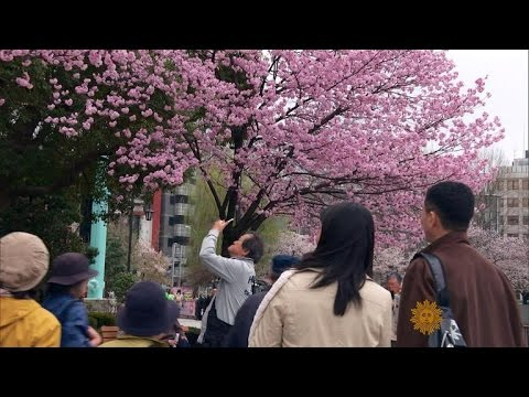 Cherry blossom season brings beauty and business to Japan