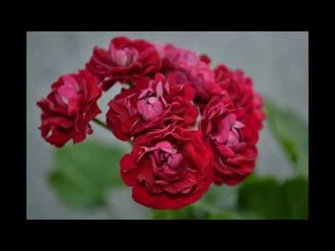 Ungarisk Appleblossom пеларгония (ungarisk appleblossom pelargonium)