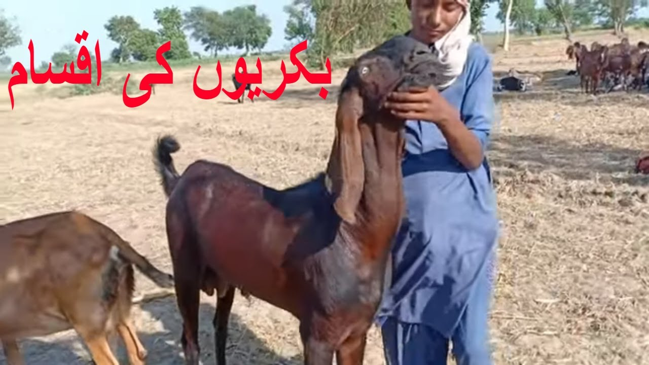 Goat Farm in Pakistan/Village Goat Farming in Punjab/Mix Goat Farming/Type  of Goats in Punjab