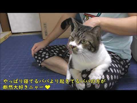 【可愛い鳴き声】朝・パパが起きてくると嬉しくて歓喜の声をあげる猫リキちゃん☆パパが大好きな甘えん坊猫【リキちゃんねる 猫動画】Cat video キジトラ猫との暮らし