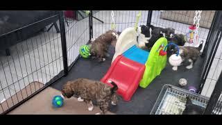 Playtime for 5 week old bernedoodles