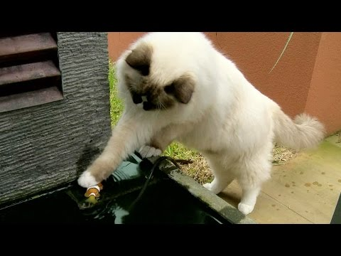 Ragdoll Cat Saves A Fish - PoathTV Floppy Cats