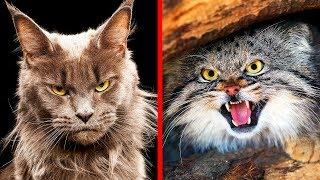 Download 10 Самых Опасных Пород Кошек в Мире Mp3 and Videos