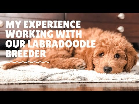 My Experience Working With Our Labradoodle Breeder