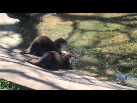 Twycross Zoo - Otter Feeding Part 02