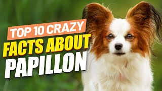 Should I Get A Papillon Dog?  Super Funny Facts About Papillon Dogs