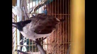 Kicauan burung kutilang mengalahkan burung yang lain