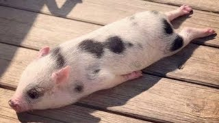 Funny and Cute Piggy Videos Compilation 2019 | MINI PIG VIDEO