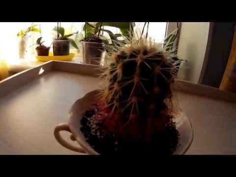 Кактус с красными иголками у основания. Симпатичный маленький кактусик растёт в чашке