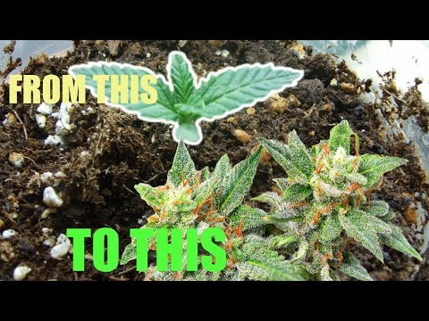 How To Grow Marijuana In Jamaica From Seeds ALL NATURAL ALL ORGANIC