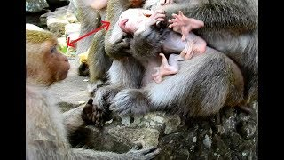 Mom Burned Heart! Jill Pity Brutus Jr Very much not Power to Save Her baby from Dolly monkey.
