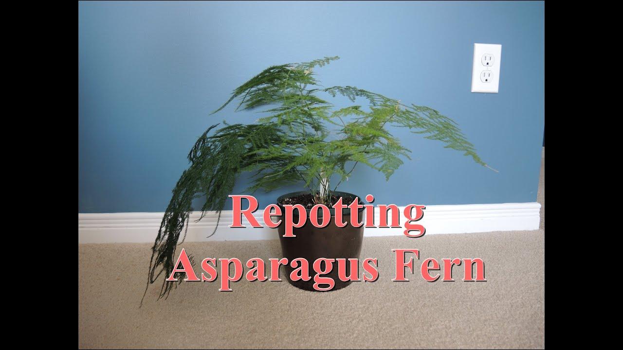 Repotting Asparagus Fern - Asparagus plumosus on asparagus plants, asparagus aethiopicus, asparagus retrofractus, asparagus soup, asparagus meyersii, asparagus falcatus, asparagus setaceus, asparagus sprengeri, asparagus spears, asparagus asparagoides, asparagus meyeri, asparagus scandens, asparagus plumosus, asparagus genus, asparagus nutritional information about, asparagus fall care, asparagus gardening, asparagus bush, asparagus in perennial garden, asparagus fern,