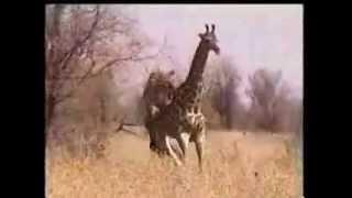 Lion vs giraffe
