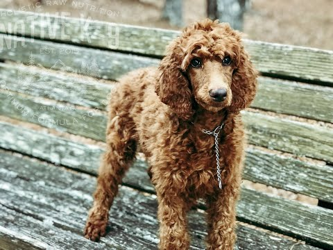 red-standard-poodle-puppy-training