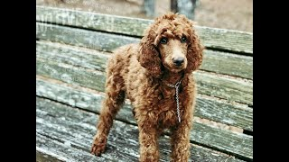 Red Standard Poodle Puppy Training