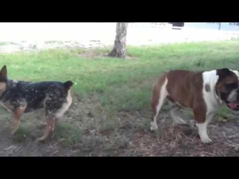 Blue Heeler Mini vs Bulldog - YouTube