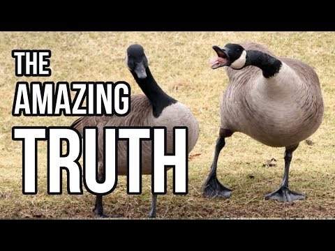 The Truth about Geese
